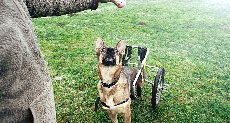 can a disabled dog use a wheelchair or rollator